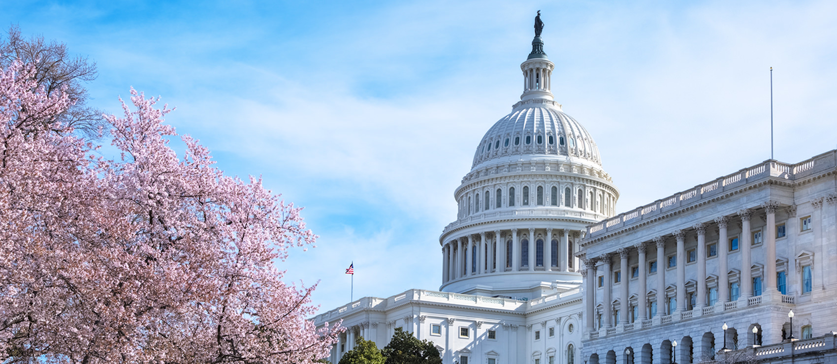 A view of the west facade of the United States Capitol in Washington DC.  The cherry blossoms are in full bloom under a blue sky with swirling white clouds.